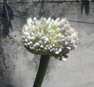 Allium sativum fiori