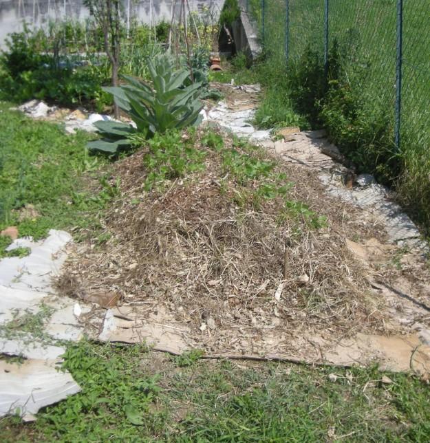 In primo piano: l'ultimo cumulo che ho costruito, con i primi fagiolini germinati da alcuni giorni. Sullo sfondo: il Verbasco, sempre più imponente e ormai prossimo alla fioritura, e gli orti a cumulo più vecchi.