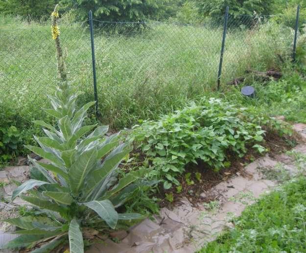 Verbascum orto