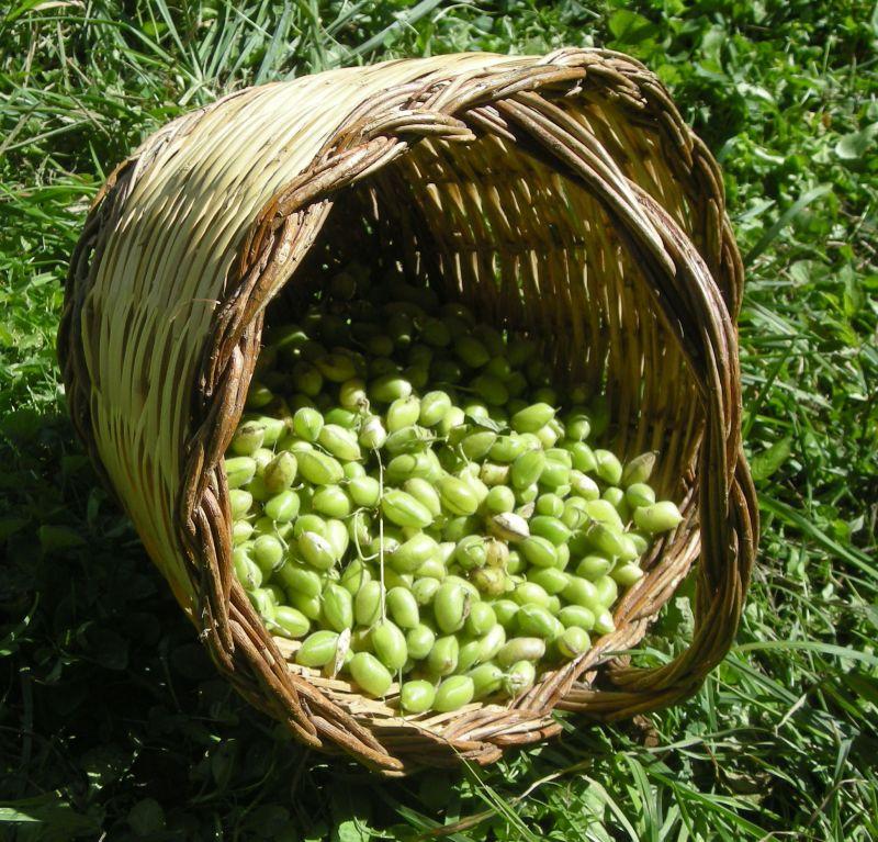 ceci-verdi-baccelli