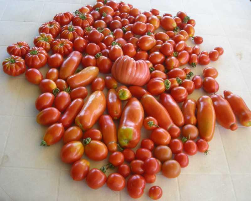 pomodori-senza-verderame-1